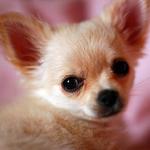 【小型犬】チワワの性格と飼い方