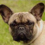 【中型犬】フレンチブルドッグの性格と飼い方