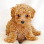 【小型犬】トイプードルの性格と飼い方