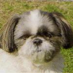 【小型犬】シー・ズーの性格と飼い方
