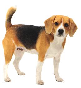 beagle0