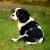 【小型犬】キャバリア・キング・チャールズ・スパニエルの性格と飼い方