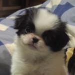 【小型犬】狆(チン)の性格と飼い方
