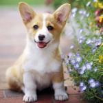 【小型犬】ウェルシュ・コーギー・ペンブロークの性格と飼い方