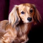 【小型犬】ミニチュア・ダックスフンドの性格と飼い方