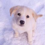 【大型犬】ラブラドール・レトリーバーの性格と飼い方