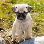 【小型犬】パグの性格と飼い方