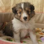 【小型犬】シェットランド・シープドッグの性格と飼い方