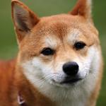 【小型犬】柴犬の性格と飼い方