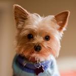 【小型犬】ヨークシャー・テリアの性格と飼い方