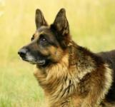 shepherd00