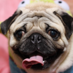 犬のアレルギー性皮膚炎で多いのは?皮膚炎の種類と傾向