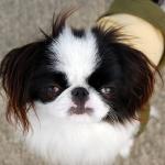愛犬のアトピー性皮膚炎の治療薬は?副作用はあるの?