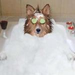 犬の薬浴とは?アレルギー性皮膚炎の皮膚と被毛のケアの方法や頻度!