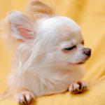 愛犬のしつけができない原因?!犬のボス意識は?優位だと思っているときのしぐさ