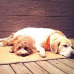 トイプードル子犬のトイレトレーニング成功の秘訣はこれ!