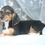 【小型犬】ビーグルの性格と飼い方