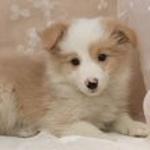 【中型犬】ボーダー・コリーの性格と飼い方
