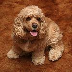 【中型犬】アメリカン・コッカー・スパニエルの性格と飼い方