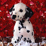 【大型犬】ダルメシアンの性格と飼い方