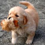 【大型犬】ゴールデン・レトリーバーの性格と飼い方