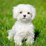 【小型犬】マルチーズの性格と飼い方