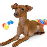 【小型犬】ミニチュア・ピンシャーの性格と飼い方