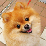 【小型犬】ポメラニアンの性格と飼い方