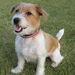 【小型犬】ジャック・ラッセル・テリアの性格と飼い方
