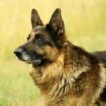 【大型犬】ジャーマン・シェパード・ドッグの性格と飼い方