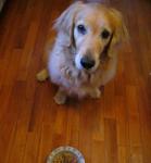 犬の気持ち | 飼い主の食事中に吠える理由と対処法は?