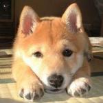 犬が畳を掘るのはなぜ?対策方法は?