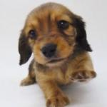 中型犬より小型犬のほうが飼うのは楽?おとなしい?