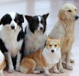犬の耳は形によって病気になりやすい?聴覚の違いは?