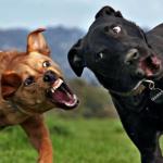 犬の喧嘩を止めるには?上手に仲裁する方法!