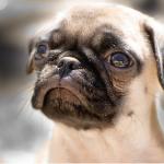 犬が泣く理由は?涙をながすのは悲しいから?