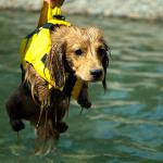 犬はみんな犬かきができる?泳ぐ練習のやり方は?