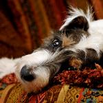 犬も夢を見るの?寝言で吠えるの?おねしょはする?