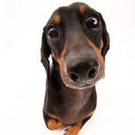 犬の目の病気 | 結膜炎と角膜炎の症状と治療は?