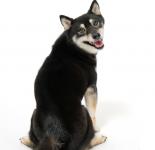 柴犬の名前ランキング!オスメス別の人気がある名前と子犬時代に注意することは?