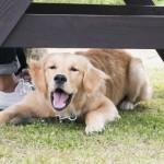 犬が吠える意味は?吠える本能と吠えない本能ってなに?